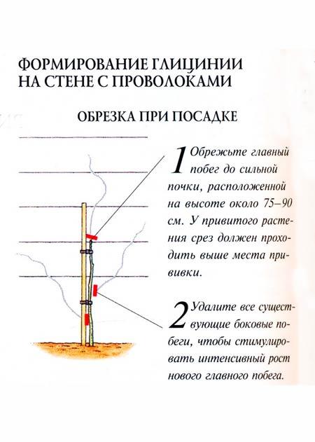 Формирование глицинии при посадке
