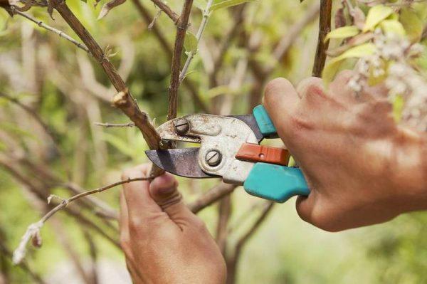 Каждая отрезанная ветвь является раной для растения, поэтому осенью следует подходить к удалению осторожно