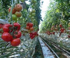Когда собирать помидоры в теплице