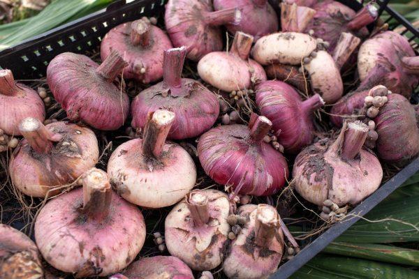 Когда выкапывать луковицы гладиолусов
