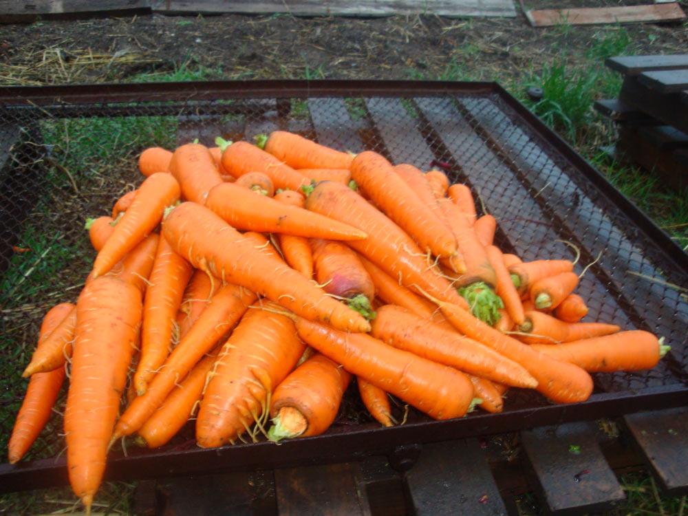 Небольшие корешки указывают на спелость моркови