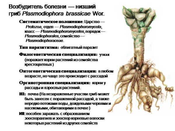 Корневища иберики поражает грибок