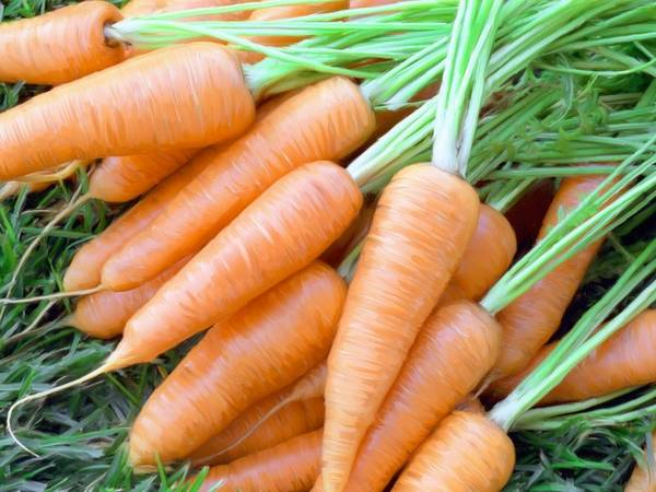 Короткая морковь легко извлекается из разрыхленной почвы