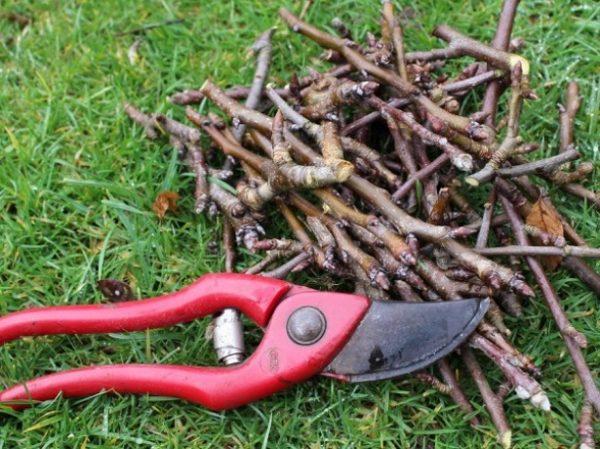 Крупные ветви обрезаются в разные периоды, чтобы не подвергать растение опасности