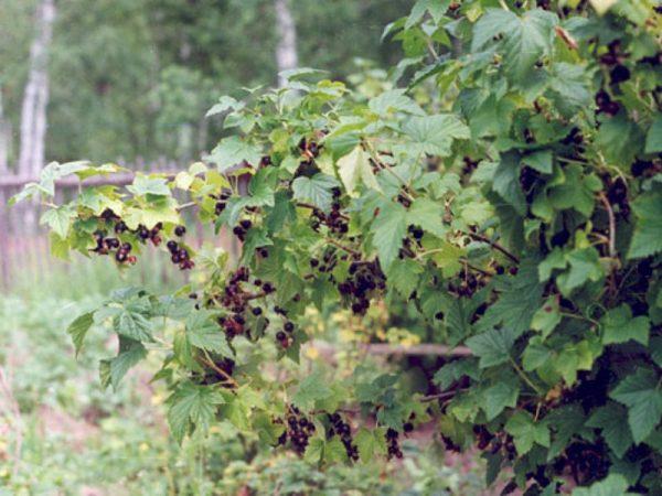 Куст смородины должен обладать четкой структурой для того, чтобы давать богатые урожаи