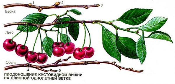 Кустовидная вишня способна ежегодно давать плоды на своих молодых побегах