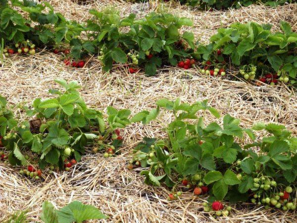Мульча защитит почву и позволит кустам клубники легче справиться с холодами