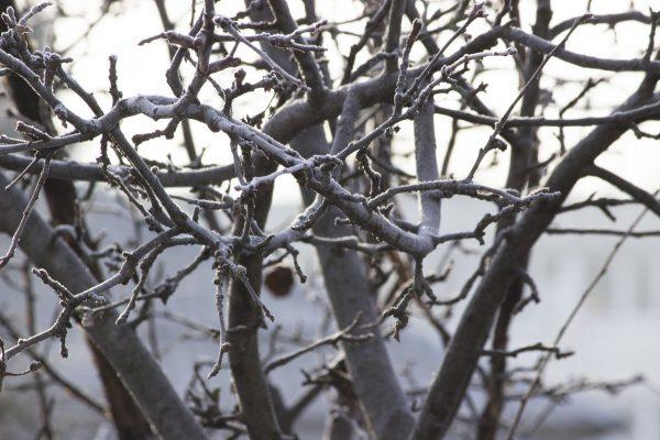 Менее всего в уходе яблоня нуждается в зимний период, пребывая в состоянии покоя