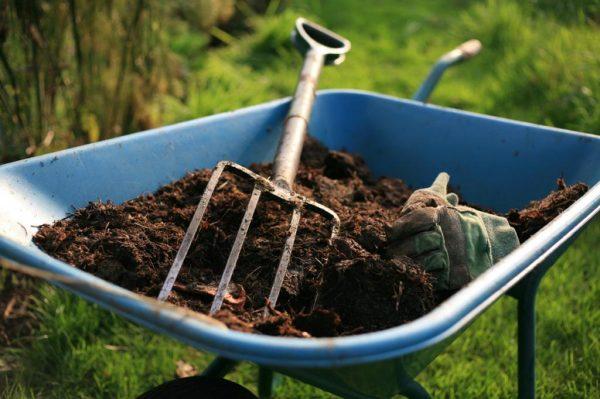 Навоз негативно влияет на произрастание в почве чеснока и снижает его иммунитет