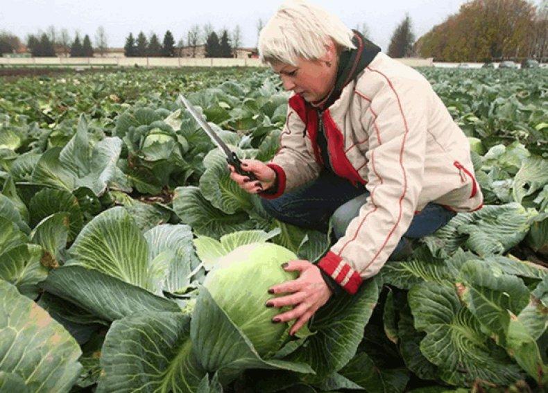 Назначать день сбора капустного урожая желательно заранее, с учетом прогнозов