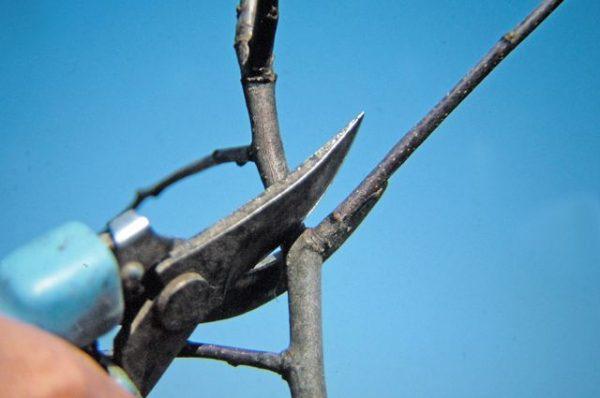 Неумеренное удаление мелких ветвей негативно отражается на росте вишни