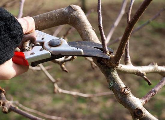 Обрабатывая ветви, следует оставлять самые сильные и плодородные