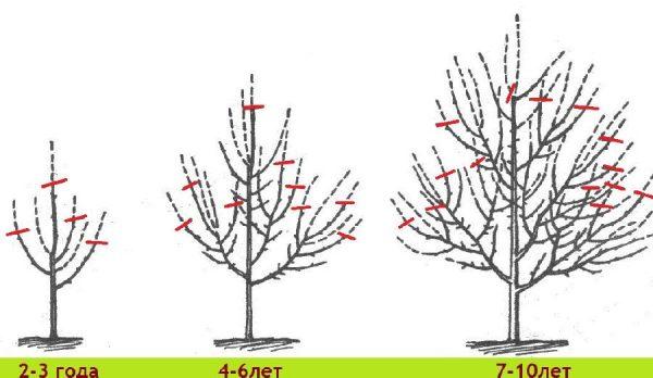 Обрезка древовидной вишни по годам