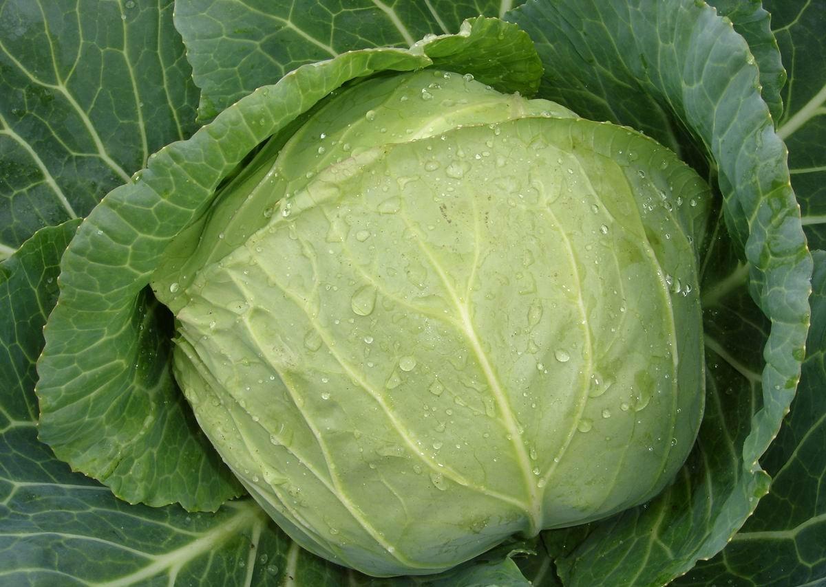 Очищая капусту, оставьте несколько защитных листьев, чтобы кочан лучше сохранился