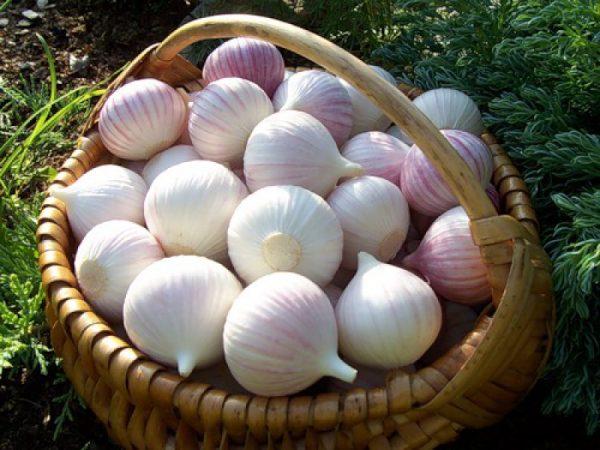 Однозубковые луковицы могут так же использоваться в качестве посевного материала