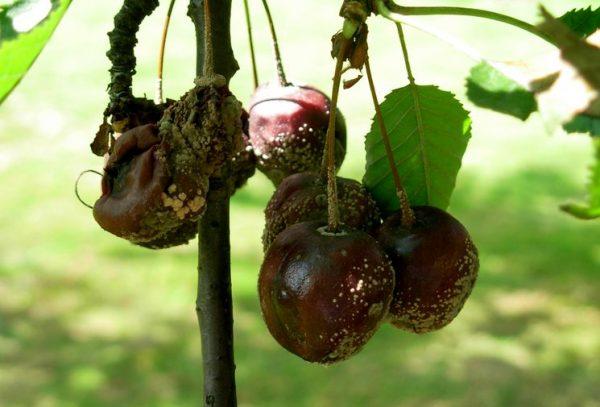 Омоложение способствует уменьшению количества некачественных плодов
