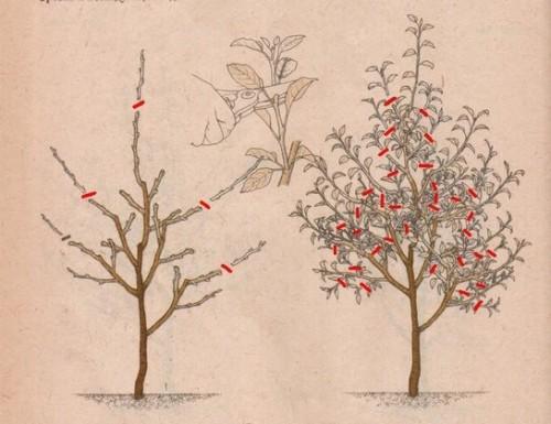 Осенняя обрезка карликовой яблони на третий год жизни