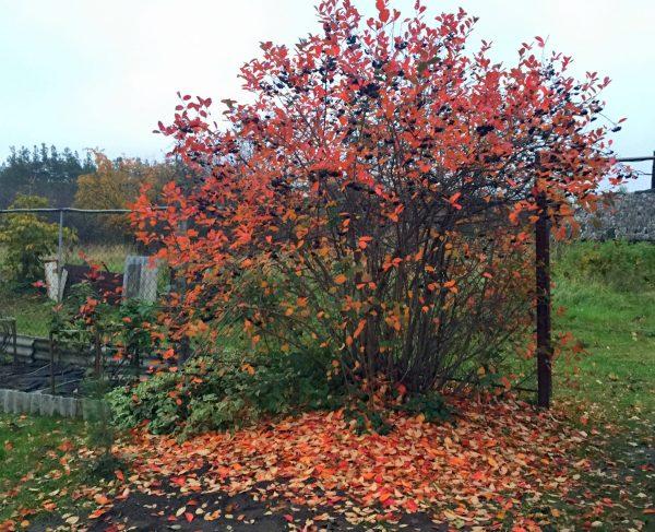 Осенью на огороде остается множество опавших листьев, которые привлекают насекомых