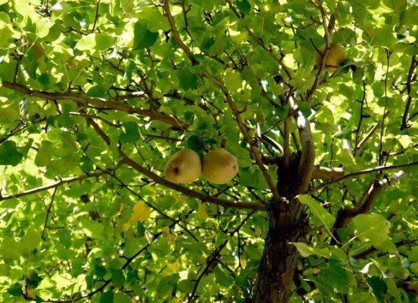 Основной уход за теплолюбивой грушей желательно переносить на весенний сезон