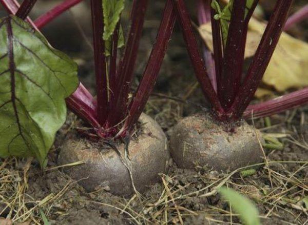 Перед тем, как достать свеклу, прорыхлите почву вокруг корнеплода
