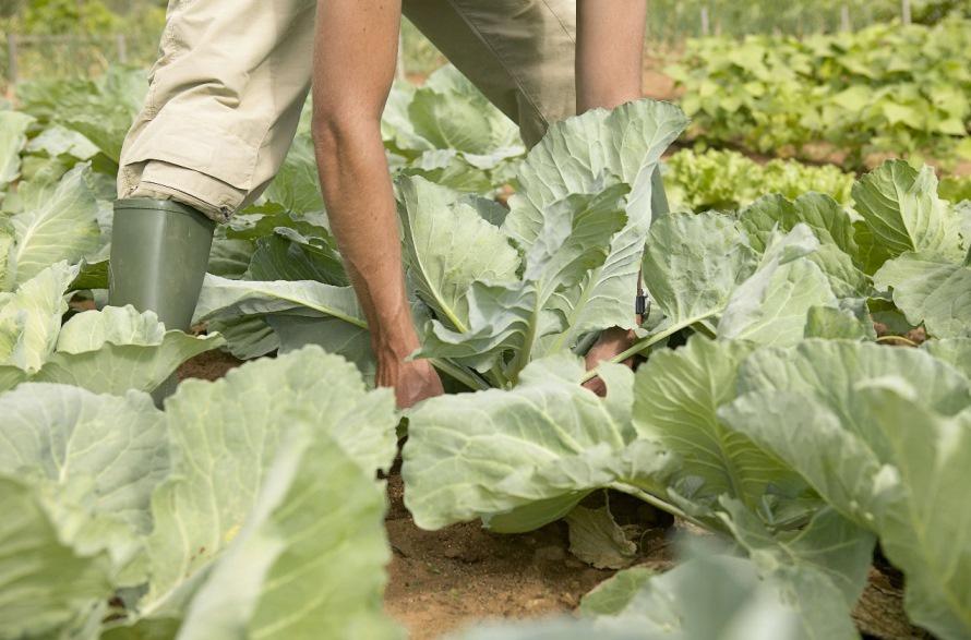 Перед уборкой урожая нужно прощупать капусту, чтобы определить степень ее зрелости
