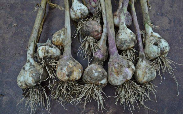 Передержанный в почве чеснок неизбежно пустит корни, что затруднит его хранение и употребление