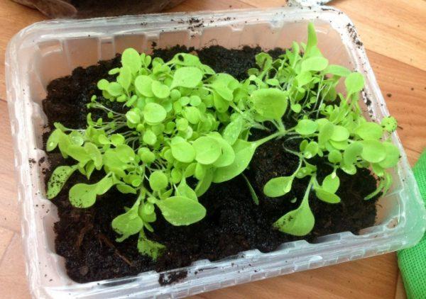 Первые ростки появляются через 3 недели