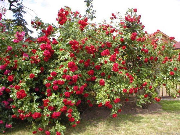 Плетистая роза в саду