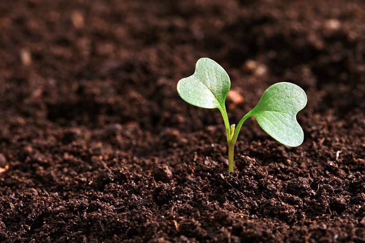 Почва играет важную роль в сроках созревания корнеплодов