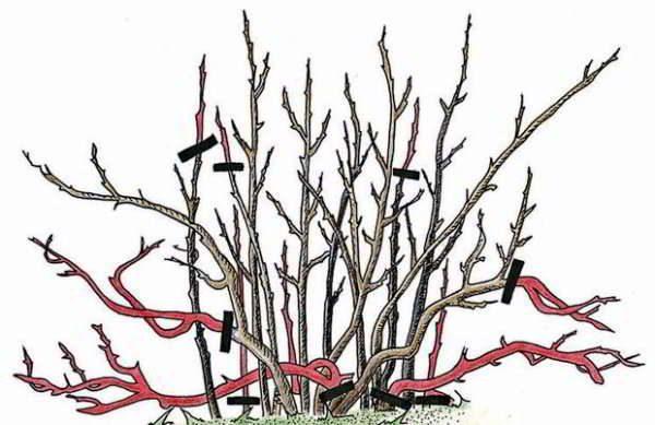 Поддерживающая обрезка не дает кусту потерять форму и обзавестись побочными ветвями