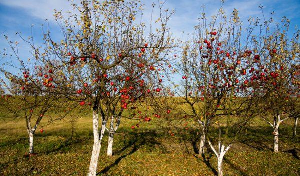 Подготовка яблони к зимовке является основной задачей осеннего ухода