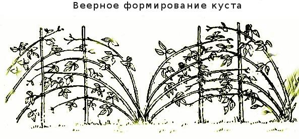 Подвязка малины поможет ей сохранить свои ветви в целости под тяжестью плодов