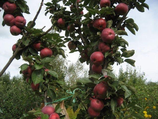 Правильная обрезка колоновидной яблони приведет к увеличению урожая