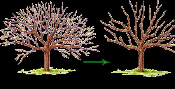 Правильная обрезка позволит проредить верхушку дерева и освободить его от лишних ветвей