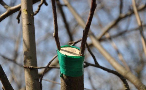 Правильно выполненное прививание не только повышает урожайность, но в ряде случаев спасает дереву жизнь