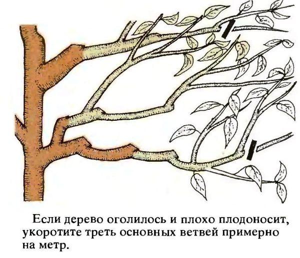 При омоложении у растения отсекается значительная часть прироста