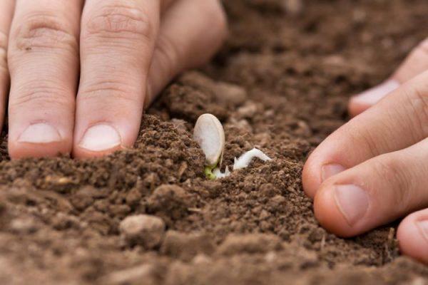 При посадке семян тыквы следует учитывать сроки ее предположительного созревания, указанные на упаковке