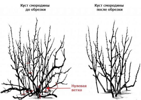 При правильной обрезке, смородина сможет омолодить свои ветви и начнет расти активнее