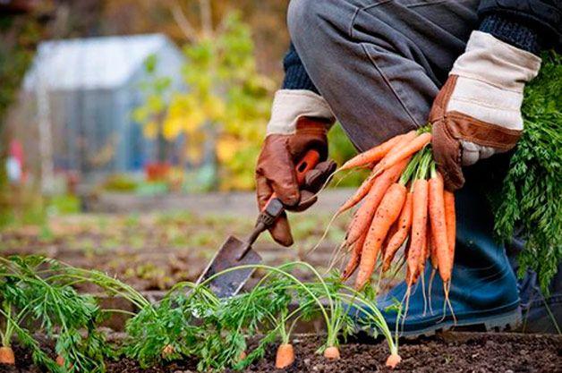 При сборе моркови следует ориентироваться не на конкретные числа, а на температуру воздуха