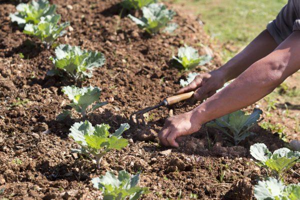 Прополка полезна как для почвы, так и для клубники, однако осенью она может повредить растения