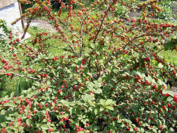 Прореживание более характерно для кустовой вишни, активно разрастающейся вширь