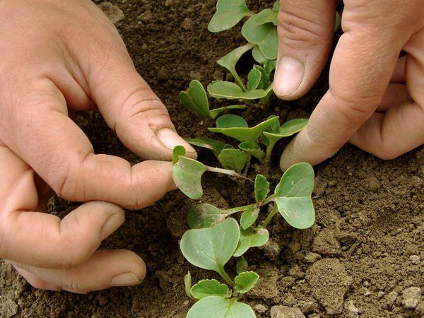 Прореживание почвы