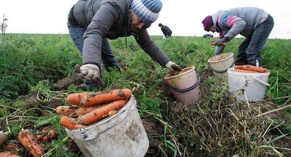 Раннеспелую морковь выгодно собирать выборочно - по мере ее созревания