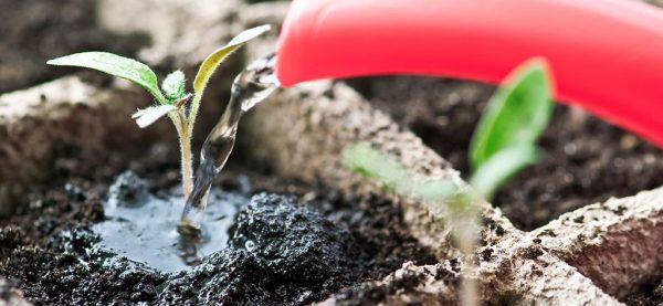 Рассаду необходимо поливать умеренно