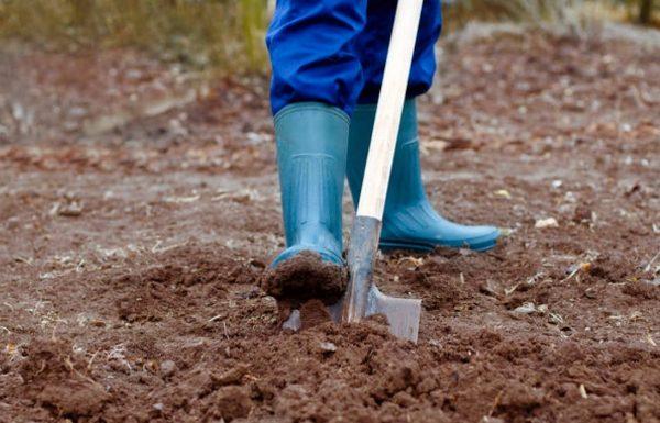 Разрыхляя почву, вы препятствуете размножению вредителей в ее глубинах