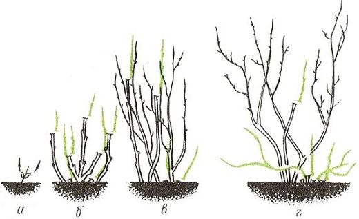 Развитие куста смородины