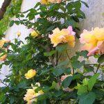 Розы Клайминг