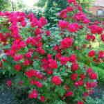 Розы ламберта