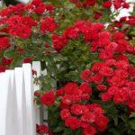 Розы мультифлора