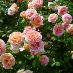 Розы вишурана
